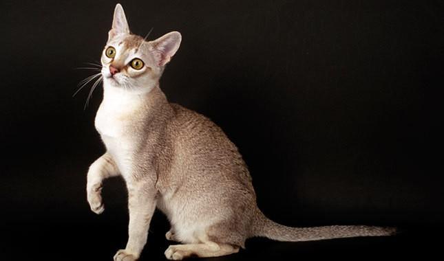 Порода маленьких кошек