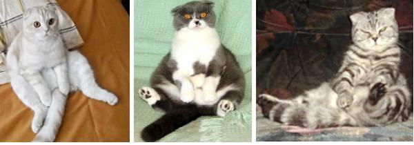 поза будды у кошек