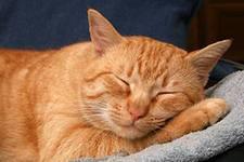 сон кошки