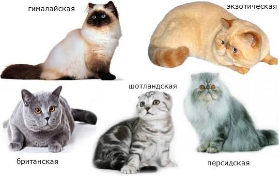 кошки брахицефалических пород