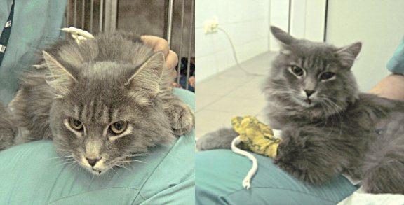 кот Фрэнки после операции