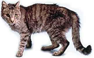 кошка с гипертиреозом