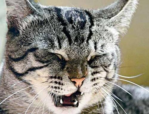 Кашель у кошек