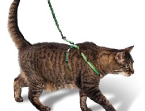 Кошка, которая гуляет на поводке