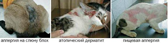 Кожные болезни кошек и их симптомы, лечение и фото