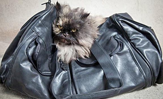 кошка Бису