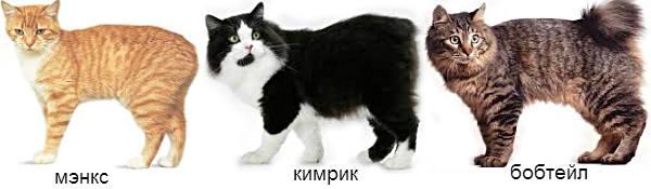 породы бесхвостых кошек