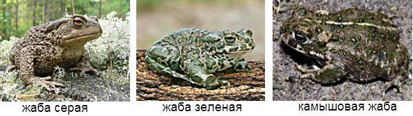 жабы России