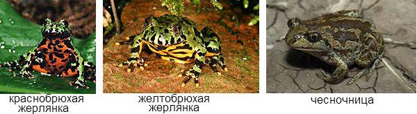 ядовитые лягушки России