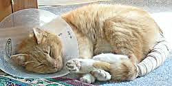 травма хвоста у кошки