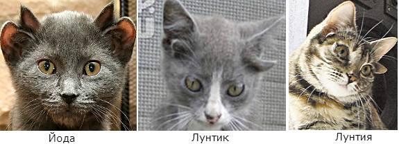 кошки с четырьмя ушами