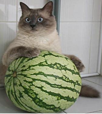 кот с арбузом