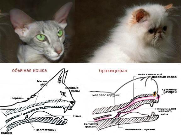 брахицефалический синдром у кошек