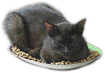кошка в миске с кормом