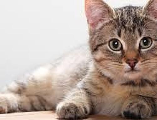 Как восстановить аппетит у кота