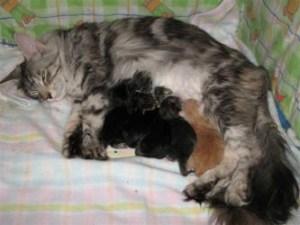 Роды у кошки - этапы, осложнения, помощь ветеринара