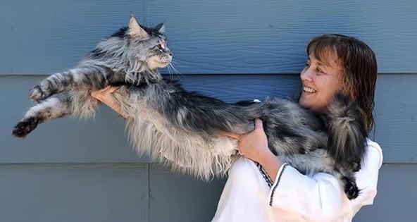 10 Огромных, Пушистых, Очаровательных Мейн-Кун котов
