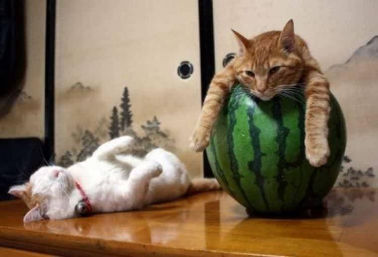 18 Весёлых ленивых кошек