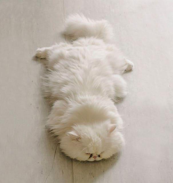 20 Самых Пушистых Кошек в Мире ?
