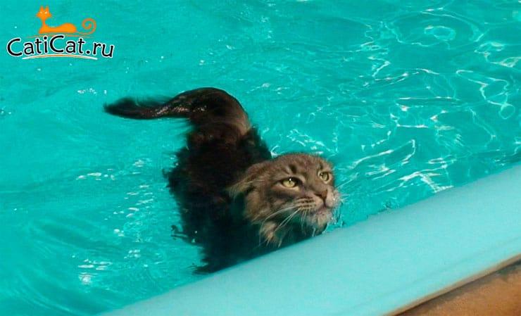 мейн-кун в воде